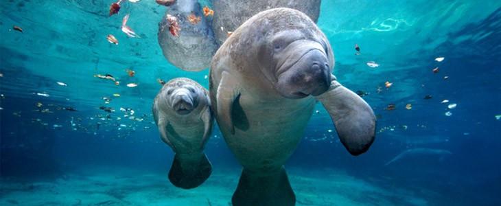 Nager avec des lamantins sauvages en Floride