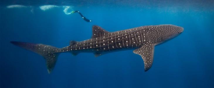 Nager avec les requins baleines à Cancun