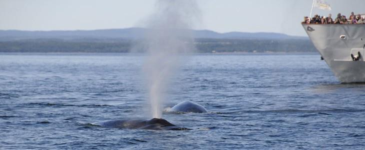 Croisière d'observation des baleines à Montréal