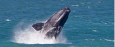 Observation de baleines au Cap en Afrique du Sud