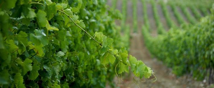 Stage d'oenologie au coeur des vignes de l'Hérault aux portes de Montpellier