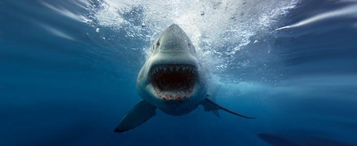 Plongée en cage avec les requins
