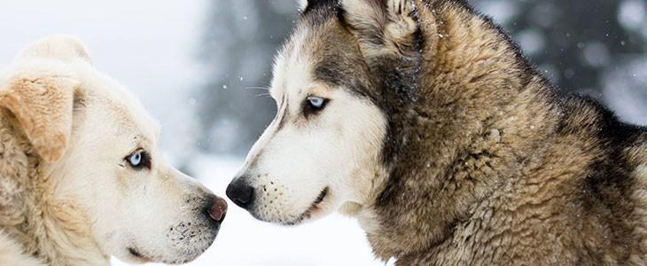 Randonnée en chiens de traîneaux Avoriaz Haute-Savoie