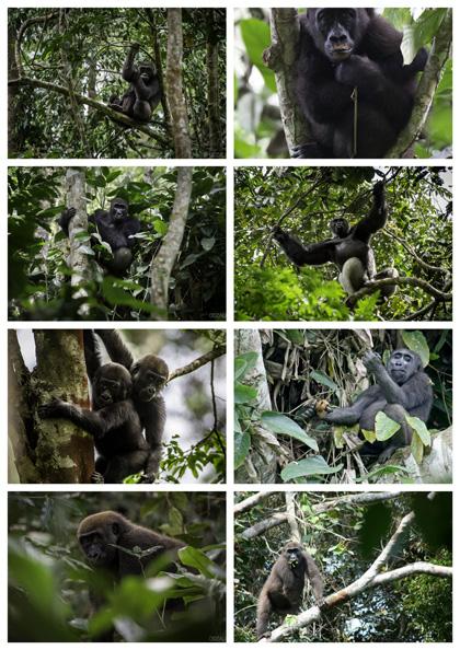 gorilles congo